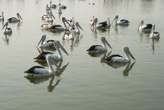 Pélicans australiens Wade dans l'eau en entrée de lacs Photo stock