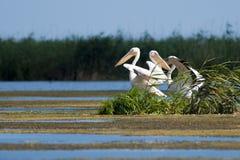 Pélicans blancs Photo stock
