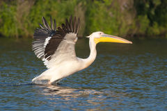 Pélicans blancs Photos stock