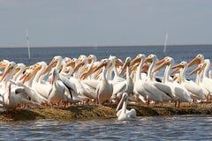 Pélicans blancs photographie stock libre de droits