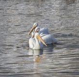 Pélicans blancs américains Photos stock