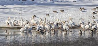 Pélicans blancs américains Photo stock