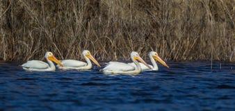 Pélicans blancs américains Photographie stock