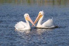 Pélicans blancs américains Photos libres de droits