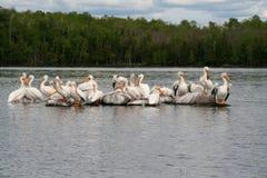 Pélicans blancs américains Image libre de droits