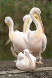 Pélicans blancs au zoo Images stock
