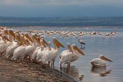 Pélicans blancs dans l'avant un lac Photographie stock libre de droits