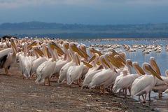 Pélicans blancs dans l'avant un lac Images libres de droits