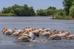 Pélicans blancs dans le delta de Danube, Roumanie Image libre de droits