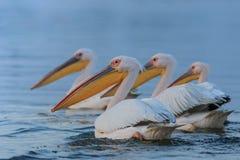 Pélicans blancs dans le delta de Danube, Roumanie Photo stock