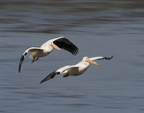 Pélicans blancs en vol Photos stock