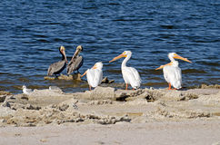 Pélicans blancs (erythrorhynchos de Pelecanus), pélicans de Brown (Pele Photos stock