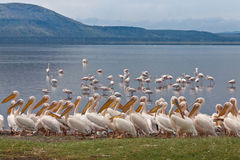 Pélicans blancs grands Photo libre de droits