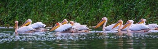 Pélicans blancs grands, onocrotalus de Pelecanus photographie stock libre de droits