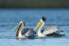 Pélicans blancs orientaux Photo stock