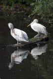 Pélicans blancs par l'eau Image stock