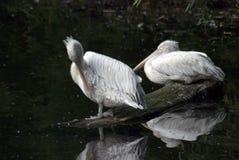 Pélicans blancs par l'eau Photographie stock libre de droits
