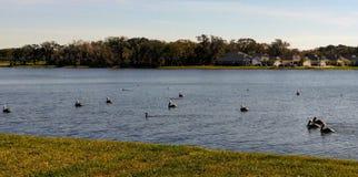 Pélicans blancs sur le lac photographie stock