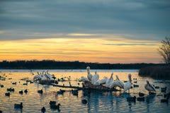 Pélicans blancs sur un rondin au coucher du soleil Photographie stock
