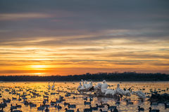 Pélicans blancs sur un rondin au coucher du soleil Photos libres de droits