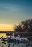 Pélicans blancs sur un rondin au coucher du soleil Images stock