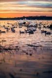 Pélicans blancs sur un rondin au coucher du soleil Image stock
