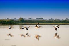 Pélicans blancs volant (onocrotalus de Pelecanus) dans le RO de delta de Danube Image stock