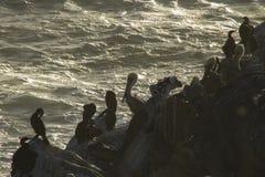 Pélicans, cormorans de Brandt, et mouettes Images libres de droits