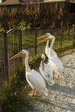 Pélicans d'oiseaux dans le stylo, zoo photo stock
