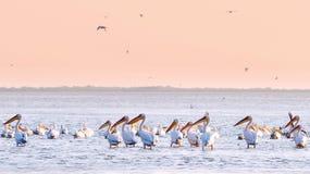 Pélicans dans l'eau Photos libres de droits