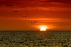 Pélicans dans le coucher du soleil Photo stock