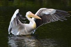Pélicans dans le delta de Danube Photos stock