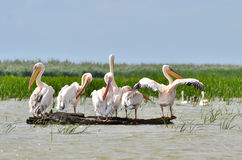 Pélicans dans le delta de Danube Image stock