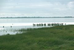 Pélicans dans le lac près de Johanna Beach, Australie Image libre de droits