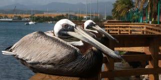 Pélicans dans le maquereau Photographie stock libre de droits