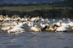 Pélicans dans le nakuru de lac Photo libre de droits