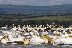 Pélicans dans le nakuru de lac Images libres de droits