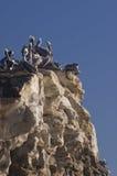 Pélicans dans le rookery Image stock