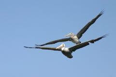 Pélicans dans le vol de tandom image libre de droits