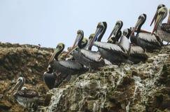 Pélicans de Brown, île Balestas, Pérou Photographie stock libre de droits