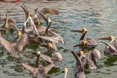 Pélicans de Brown mangeant du pêcheur dans Islamorada photo libre de droits