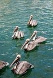Pélicans de Brown nageant Photographie stock