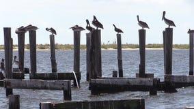 Pélicans de Brown roosting sur un pilier banque de vidéos