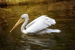 Pélicans de Brown se reposant sur le Golfe du Mexique en Floride Photo stock