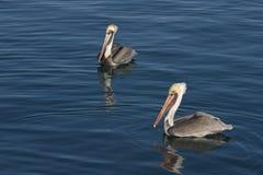 Pélicans de Brown sur l'eau réfléchie bleue images libres de droits