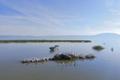 Pélicans de Chapala de lac Photographie stock