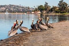 Pélicans de la Californie Brown au parc de baie de mission Photos libres de droits