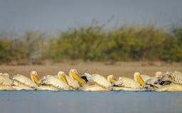 Pélicans de pêche Image stock