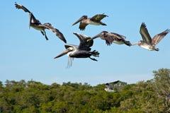 Pélicans de vol photographie stock libre de droits