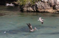 Pélicans de vol photo libre de droits